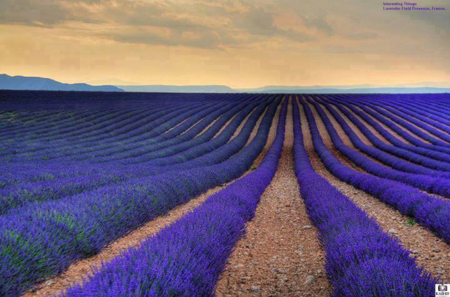 Stop and smell the lavender in Provence.