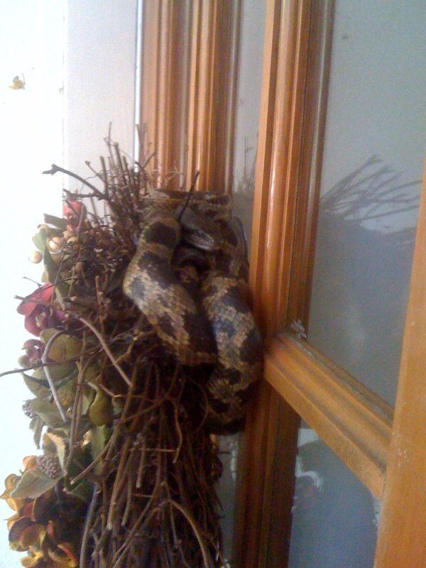 ...That is, until you realize there's a Christmas snake in there, ready to pounce on any Scrooge that wants to take down his wreath-y home.