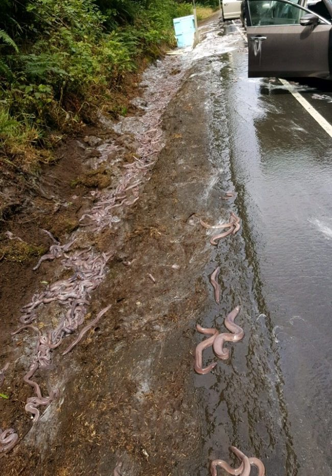 Last week, a truck hauling 7,500 pounds of hagfish, also known as slime eels, was traveling to export the fish to South Korea, where they're eaten. It didn't go well.
