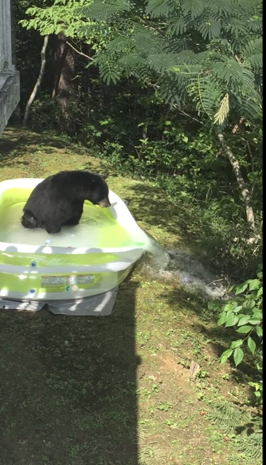 Sadly, all that excitement led the bear to tear a hole in the pool and ruin the fun.