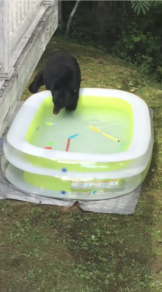 Before she knew it, a huge bear had seized the opportunity to get its feet wet.