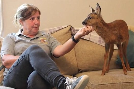The fawn is a roe deer, and her rescuers have been hand-rearing her and letting her hang out in their living room. They feed her lamb's milk.
